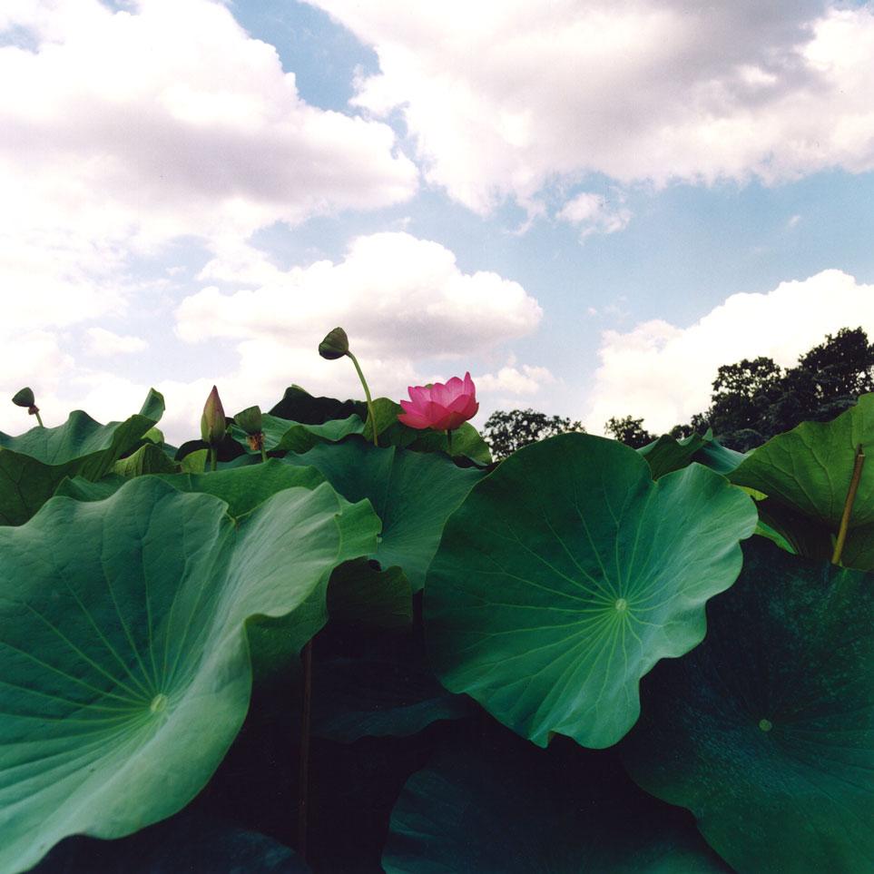 Sylvie-Leduc_lotus